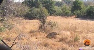 بالفيديو والصور.. دهاء نمر في اصطياد غزالة يذهل مصوره